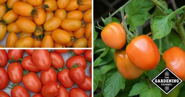 roma tomatoes health benefits