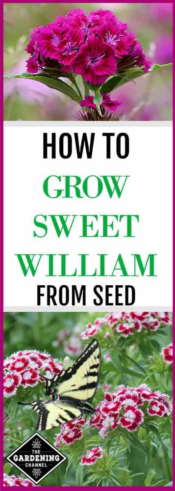 Sweet William flower (Dianthus barbatus), is beautiful in containers, mixed with other perennials, or as a border in any flower bed. Before you buy flats of expensive nursery plants, consider growing Sweet William from seed.