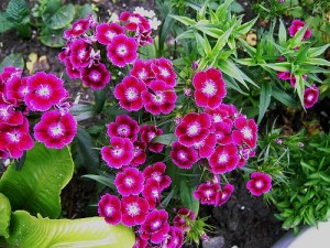 sweet william from seed