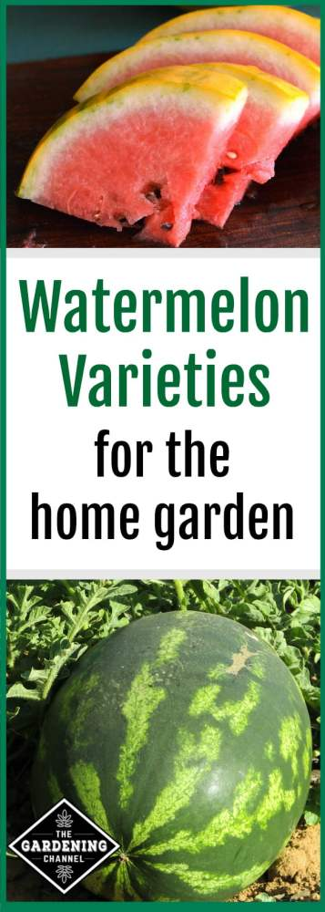 select the right watermelon variety for home garden