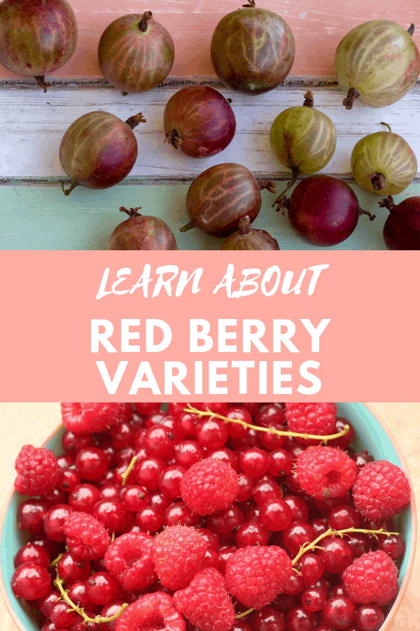 gooseberries and red currants with raspberries with text overlay learn about red berry varieties