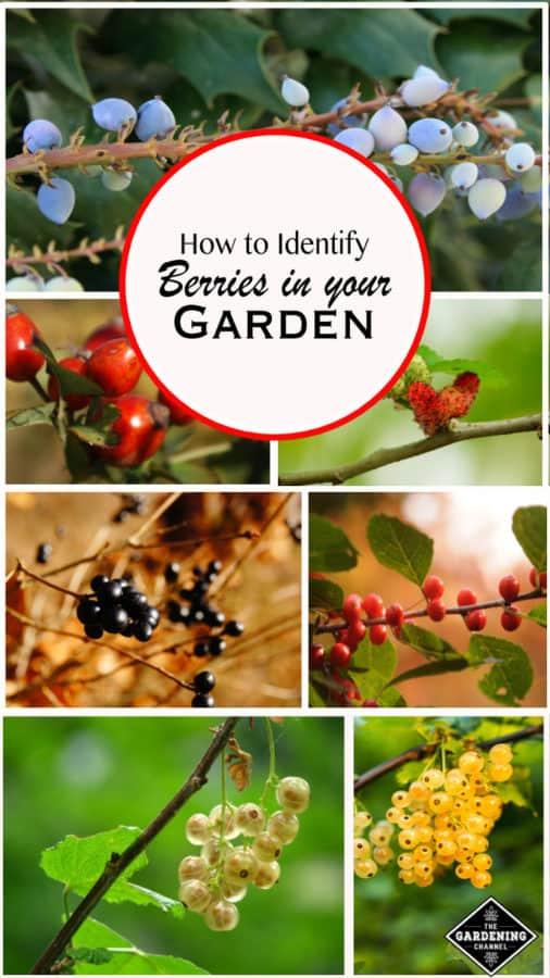 How to Identify Berries in your Garden