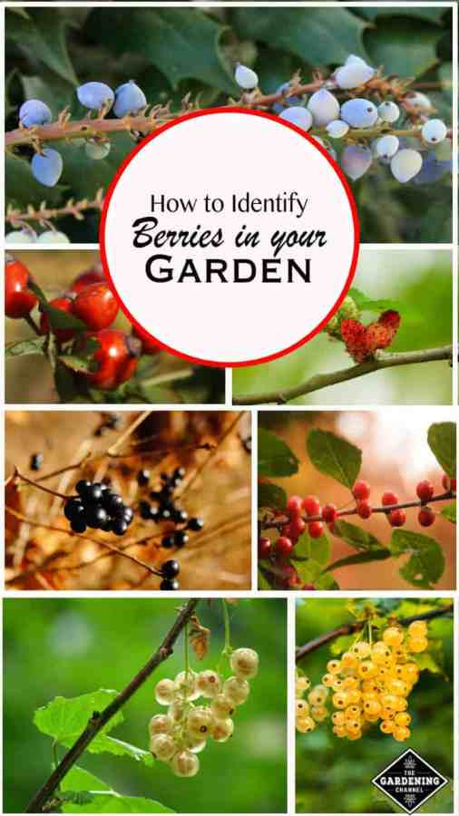 How to Identify Berries in your Garden