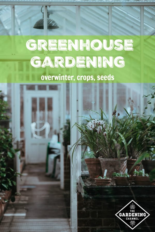 garden plants in greenhouse with text overlay greenhouse gardening overwinter, crops, seeds