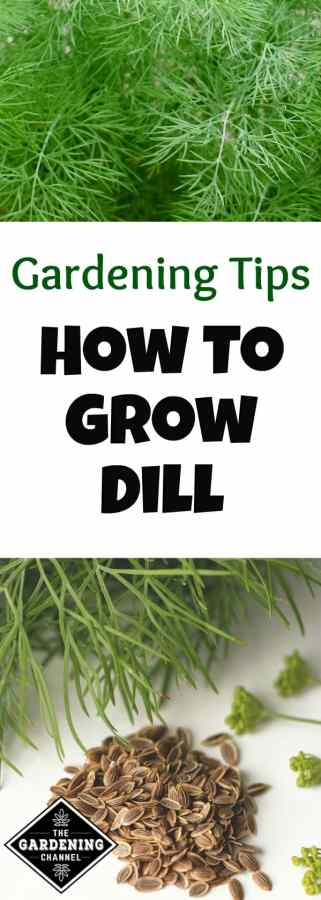 growing cool season dill