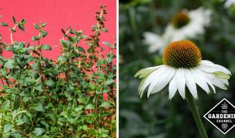 Plant These Perennials to Last in the Heat