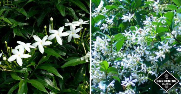growing star jasmine