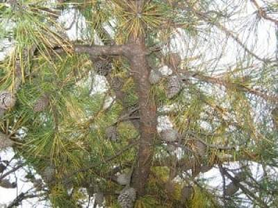 A pine tree infected with diplodia