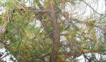 Diplodia Blight in Trees