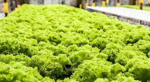 lots of green vegetable