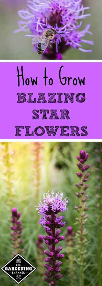 close up of beed on liatris flower and blazing star blooms with text overlay how to grow blazing star flowers