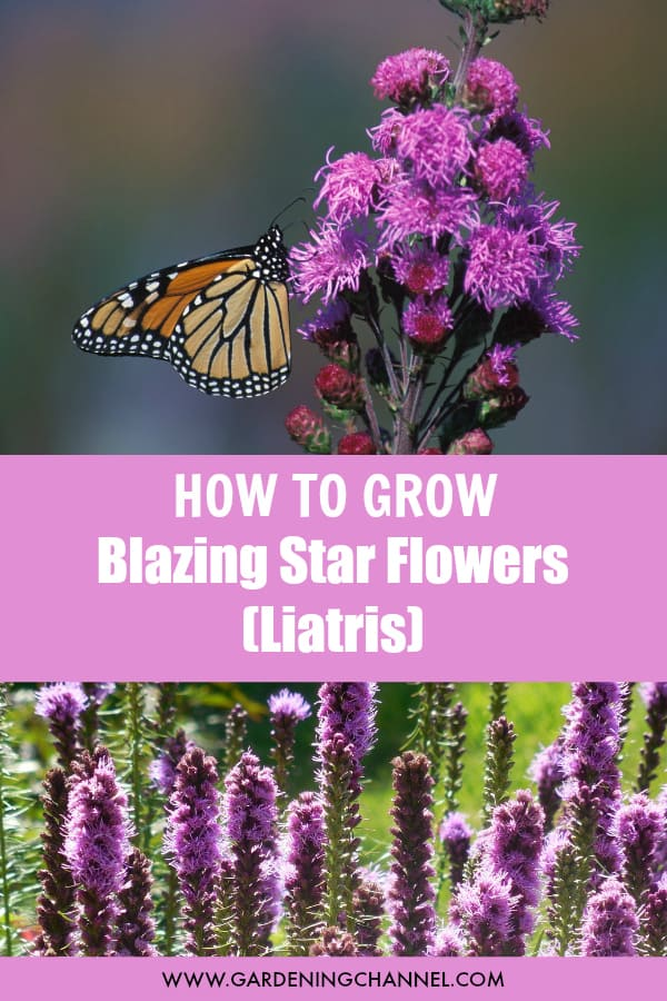 monarch butterfly on blazing star flower and liatris flower with text overlay how to grow blazing star flowers liatris
