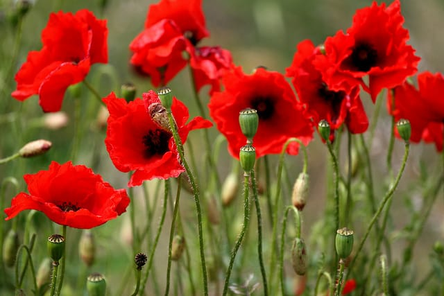 10 unusual flower choices for a girlfriend gardening channel poppies poppies mean pleasure and they do have an intoxicating reputation try a simple bouquet of bright red poppies in the spring mightylinksfo Image collections