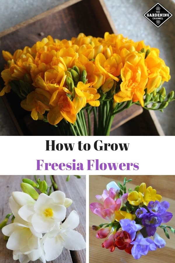 yellow white and multicolor freesia flowers with text overlay how to grow freesia flowers
