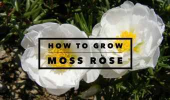 How to Grow Moss Roses