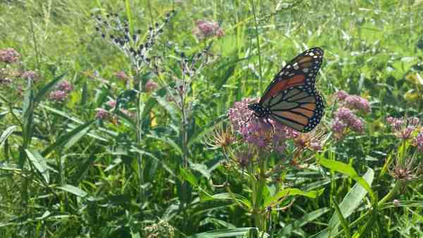 milkweed monarch butterfly