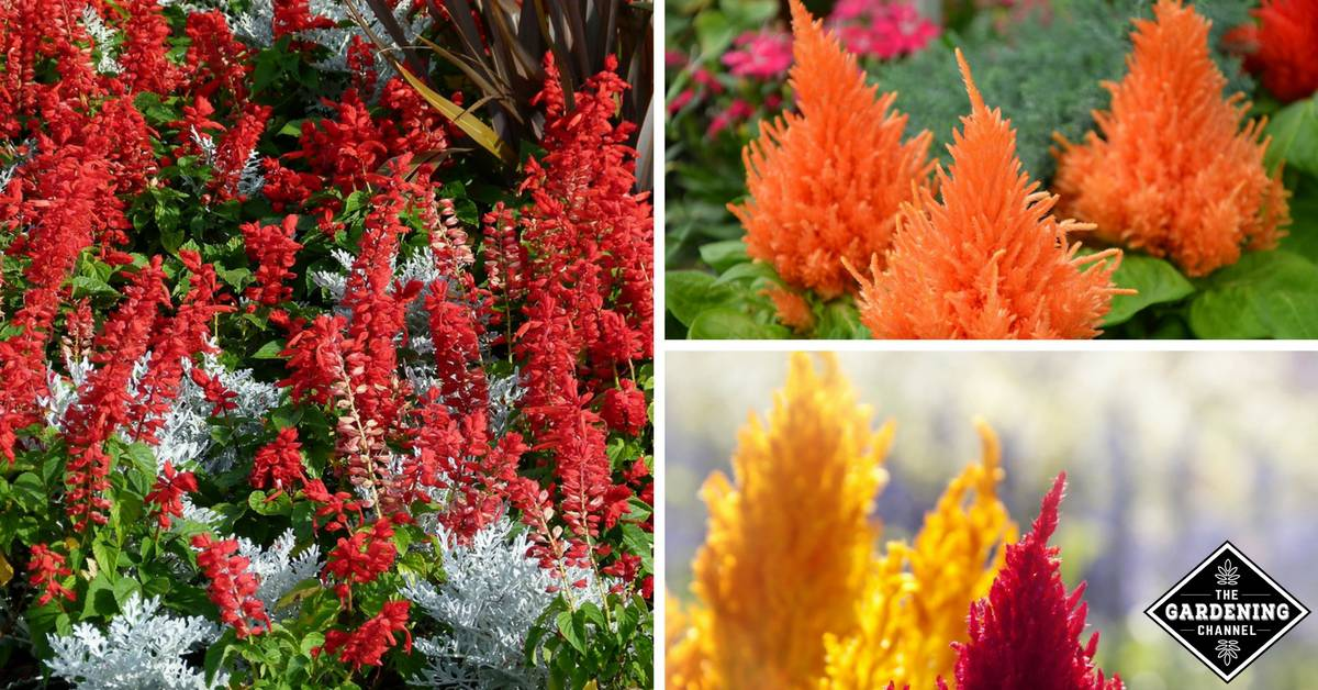 BOMBAY DARK RED Cockscomb Seeds Celosia -Heat Tolerant Sun Loving- 10 Seeds