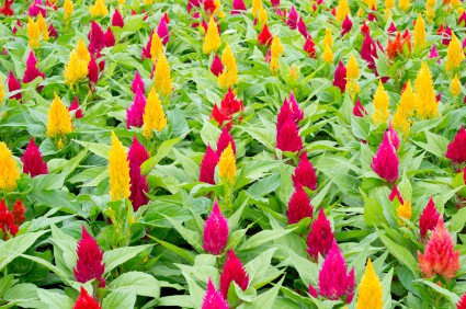 How to grow celosia cockscomb flowers gardening channel celosia pests and diseases mightylinksfo