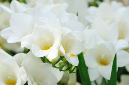 How to grow freesia flowers gardening channel how to grow freesia flowers mightylinksfo