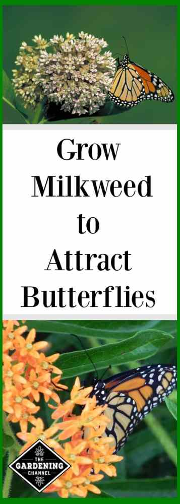You can help restore the monarch butterfly population by planting a butterfly garden that includes milkweed. Grow milkweed in your garden to attract butterflies, especially Monarchs.