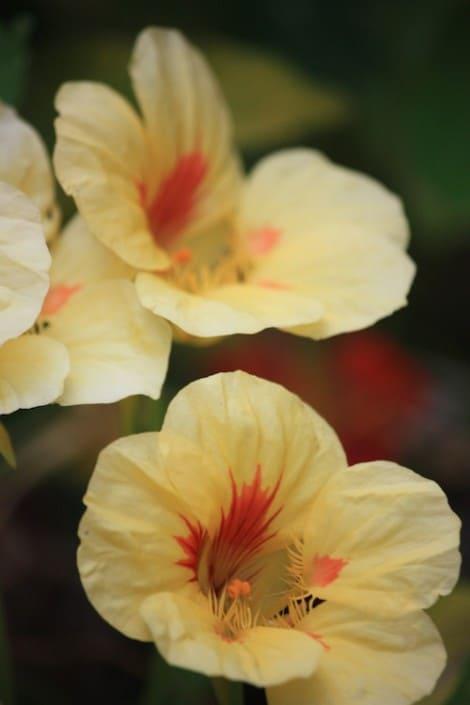 grow-nasturtium