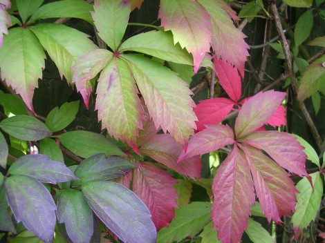 grow-virginia-creeper