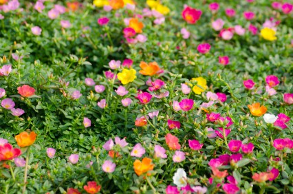 Portulaca moss rose flowers