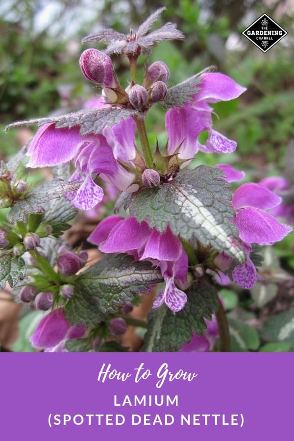 lamium with text overlay how to grow lamium spotten dead nettle