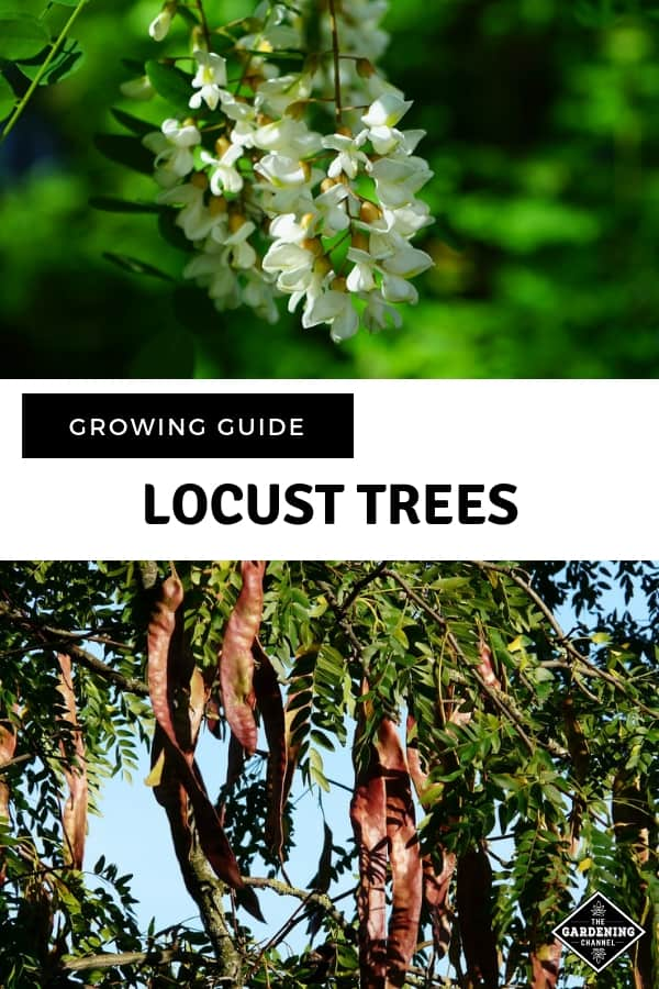 locust trees and locust seed with text overlay growing guide locust tree
