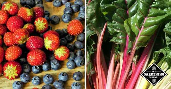 berries and swiss chard