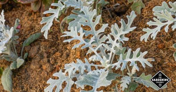 growing dusty miller in containers and the garden