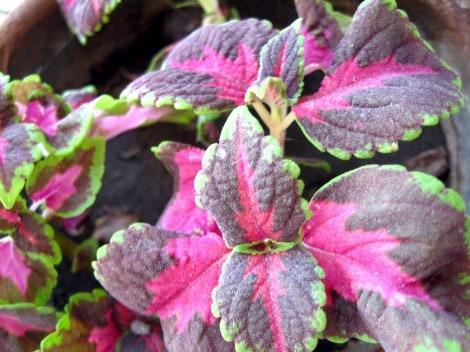 grow-coleus