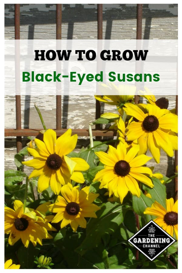 black eyed susans against garden gate with text overlay how to grow black eyed susans
