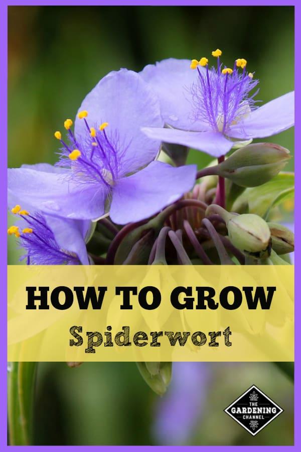 spiderwort with text overlay how to grow spiderwort