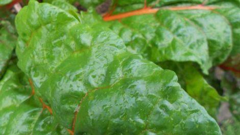 swiss chard leaves
