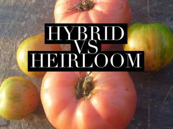 Classifying Tomatoes Heirloom versus Hybrid Tomatoes