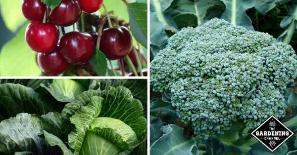 cabbage cherries and broccoli and glycemic values
