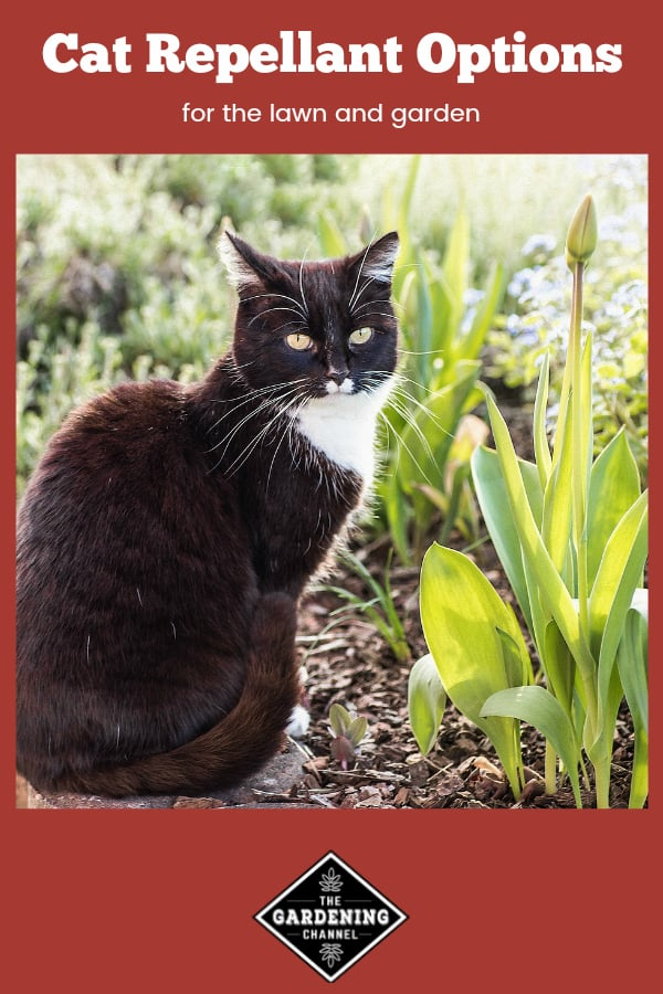 cat in flower bed with text overlay cat repellant options for the lawn and garden