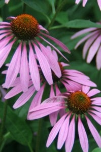 How to Grow Coneflower