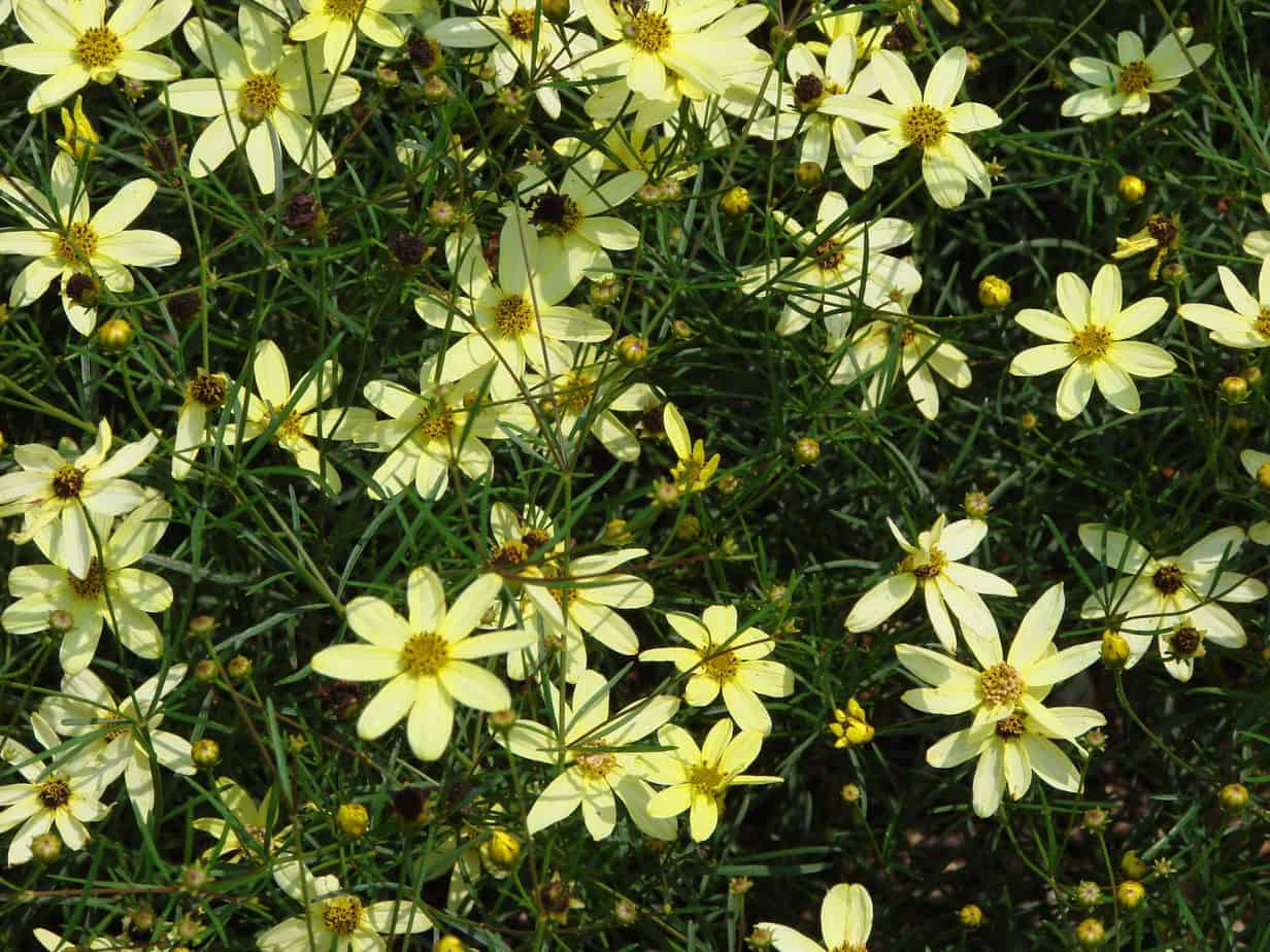 How To Grow Coreopsis Tickseed Gardening Channel