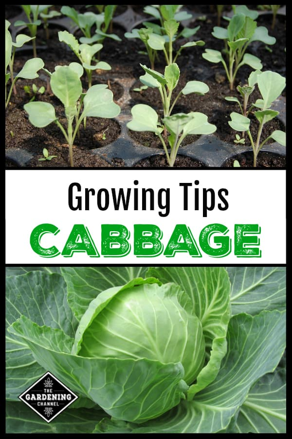 cabbage seedlings and cabbage growing in garden with text overlay growing tips cabbage