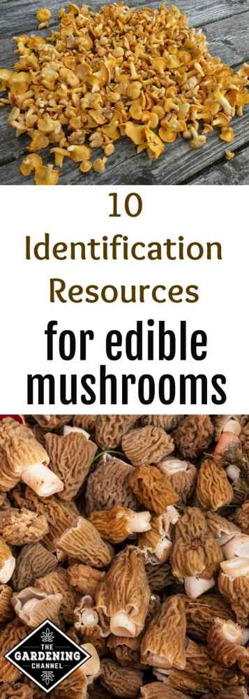 Chanterelles morel mushrooms with text overlay 10 identification resources for edible mushrooms