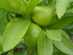 Common Lime Tree Diseases