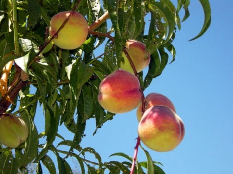What Are Some Common Peach Tree Diseases?