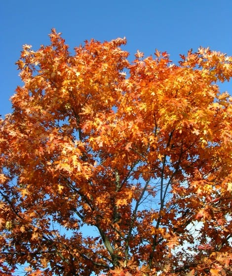 red-oak-tree