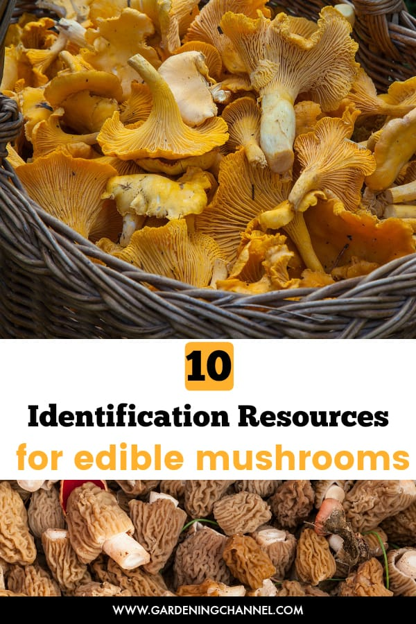 chanterelle harvested and morel mushroom forage with text overlay ten identification resources for edible mushrooms