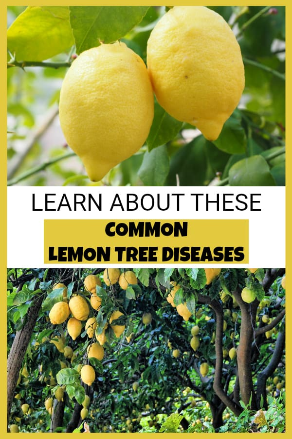 lemons growing on tree and lemon trees with text overlay learn about the common lemon tree diseases