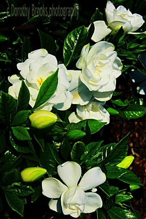 grow gardenia