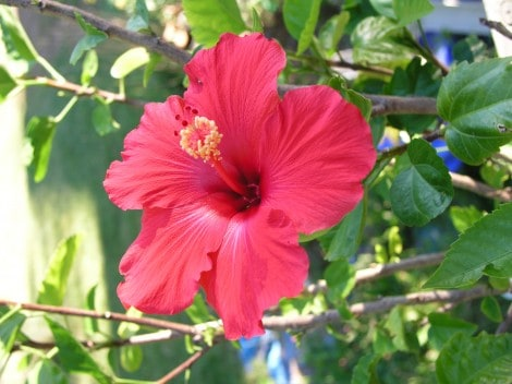 How To Grow Hibiscus Gardening Channel