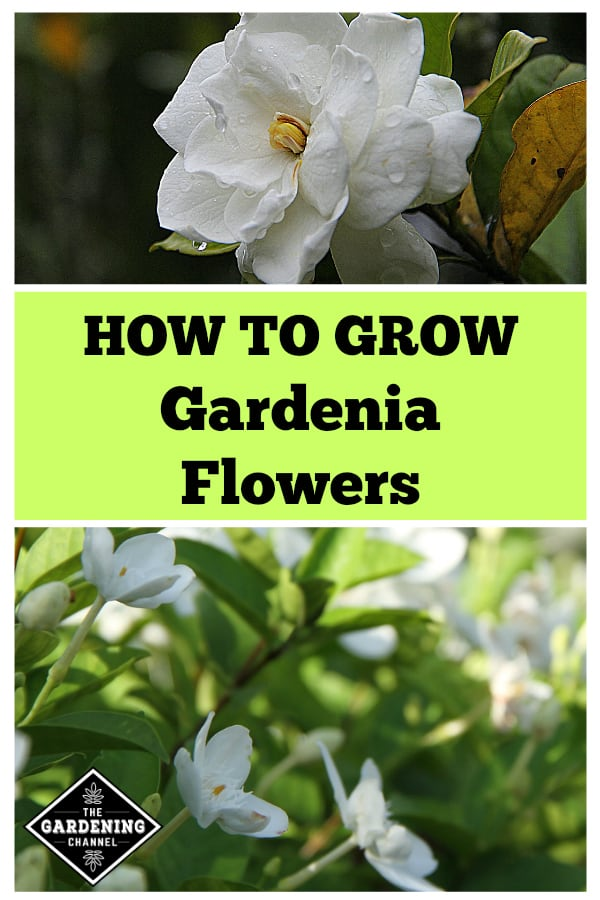close up gardening flower with close up of gardenia plant with text overlay how to grow gardenia flowers